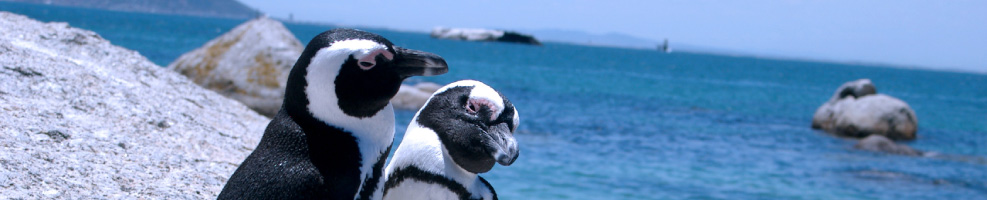 Penguins Cape Peninsula